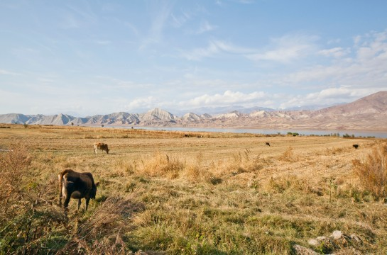 Cows graze in pastures near Toktogul, located along the Bishkek-Osh highway.